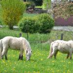 Ponys grasen