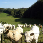 Rinder Kühe